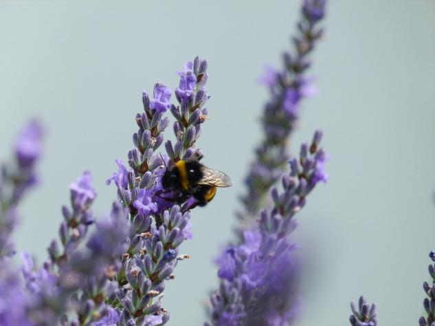 bumble-bee-lavander